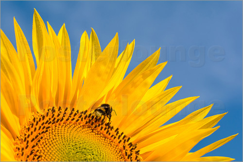 Edith Albuschat - Sunflower against blue sky