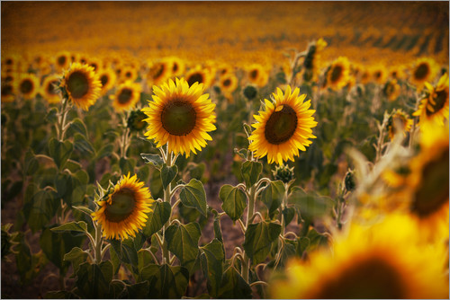 Sunflower field in the evening light