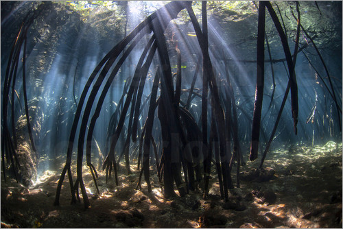 Poster Beams of sunlight in a mangrove forest