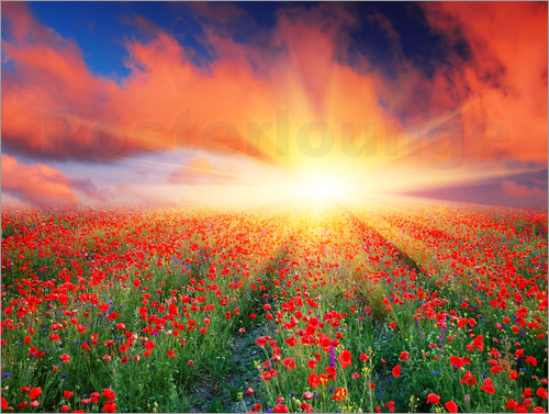 Sunset over a field of red poppies