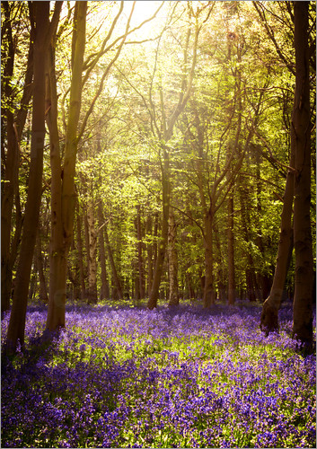 Poster Sunny forest with bluebells