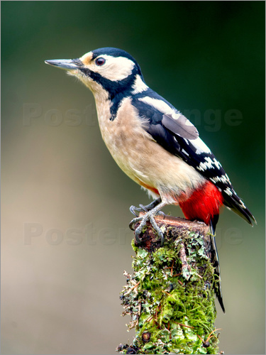 Woodpecker stands guard