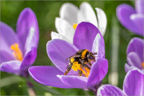 Poster Spring flower crocus and bumble-bee