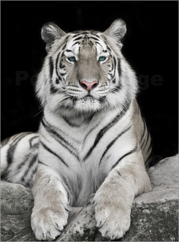 Poster Handsome tiger with color accents