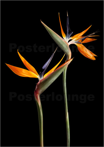 Strelitzia flowers on black background