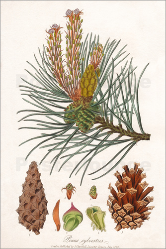 Structures Of The Scots Pine Pinus Sylvestris Poster