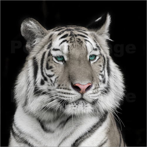 Poster Sumatran tiger with turquoise eyes