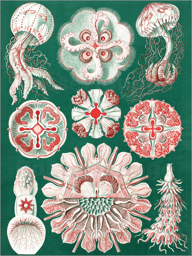 Ernst Haeckel - Chart of jellyfish species