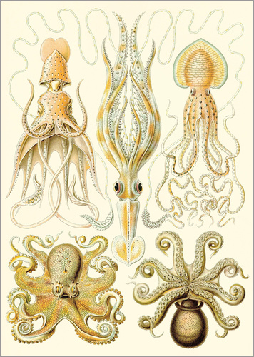 Poster Squid and octopi