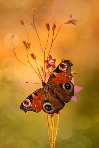 Poster Peacock butterfly on bell flowers