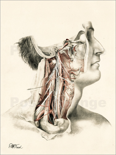 G. H. Ford - The Head and Neck. Internal Carotid and Ascending Pharyngeal Arteries, and Cranial Nerves in the Nec
