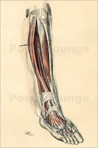 G. H. Ford - The Lower Limb. Front of the Leg and Dorsum of the Foot