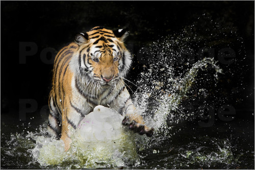 Poster Tiger Makes the water