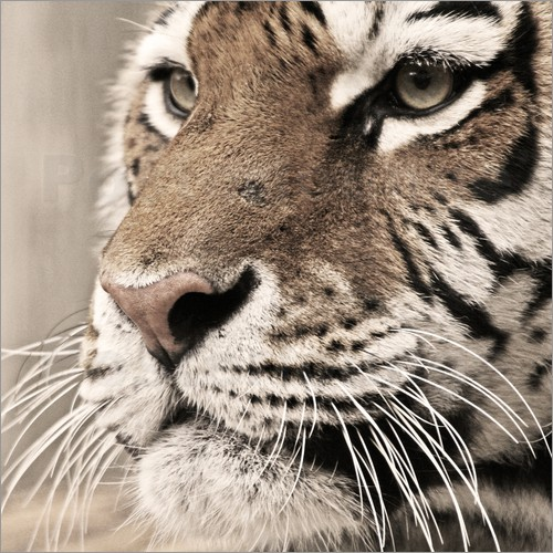 Poster Tigerportrait