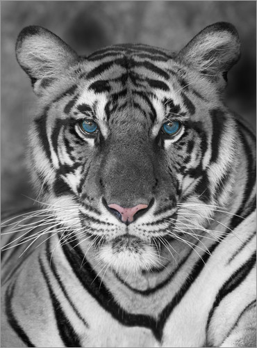 Poster Tiger portrait with color accents