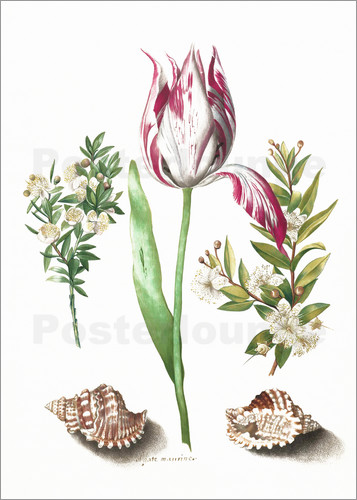 Poster Tulip with two myrtle branches and two shells