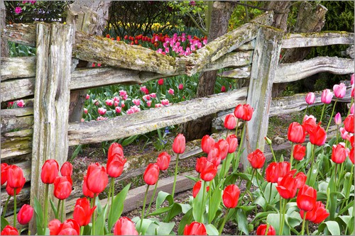 Poster Tulips and wood fence