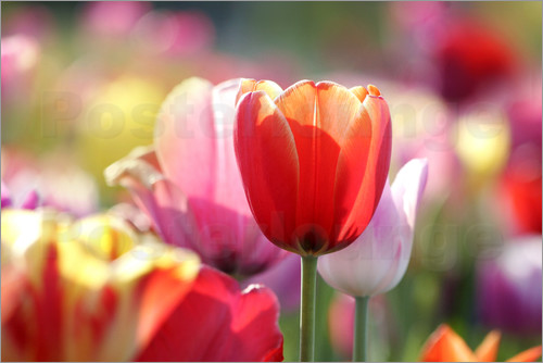 Poster Beautiful colorful Tulips