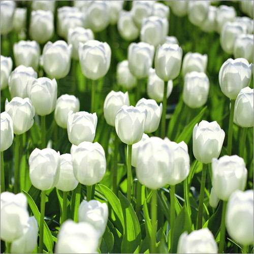 pixelliebe - Meadow of tulips