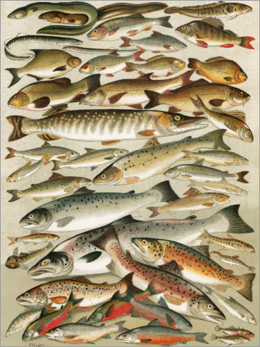 Poster Our British Fresh Water Fish