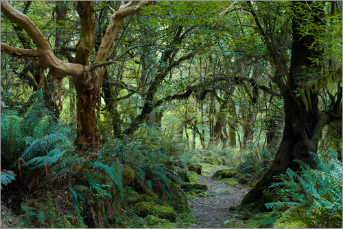 Poster Primeval forest on kepler track, fiordland, new zealand