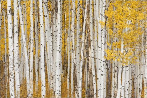 Charles Gurche - USA, Colorado, White River National Forest, aspen