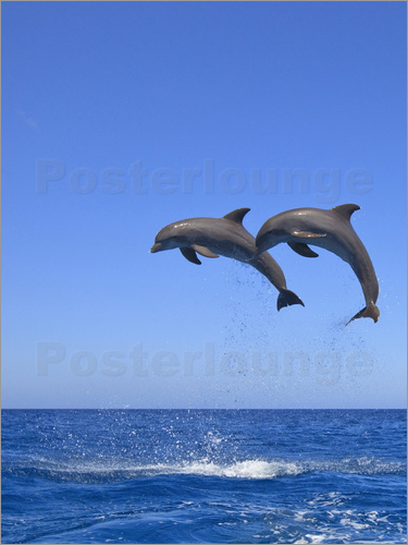 Poster Playful dolphins