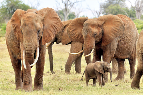 Poster Playful elephant baby with family