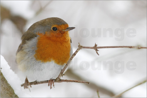 WildlifePhotography - bird robin