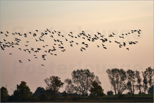 Poster Flock in the evening light