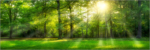 Poster Forest panorama with sunbeams in summer