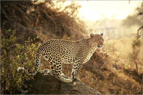 Poster female Leopard at sunset