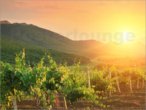Poster Vineyards in Sunset