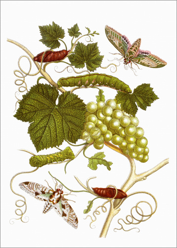 Poster Vine and moths