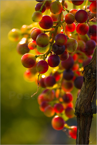 Poster Grape vine in the evening sun