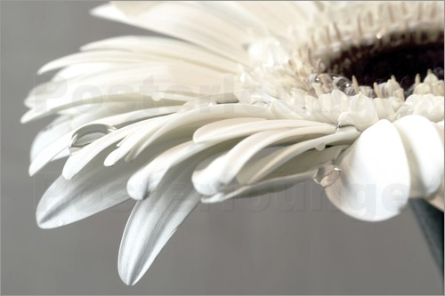 Poster White Gerbera with drops