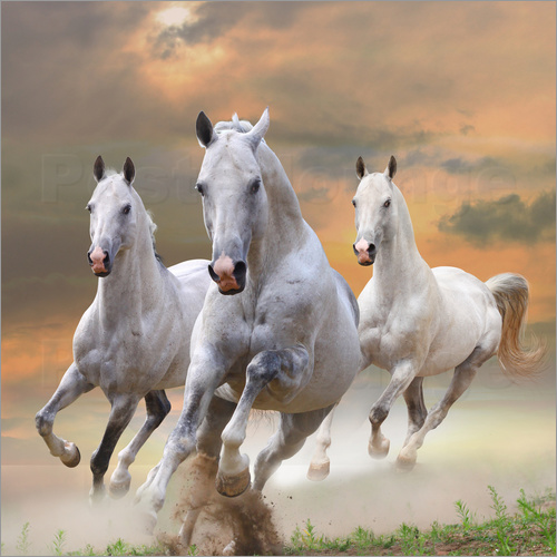 Poster White stallions at gallop