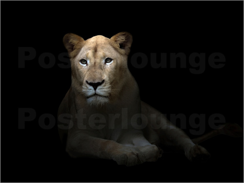 Poster White Lioness in the dark night