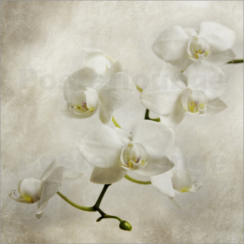 Hannes Cmarits - white orchid
