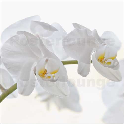 Poster White Orchid