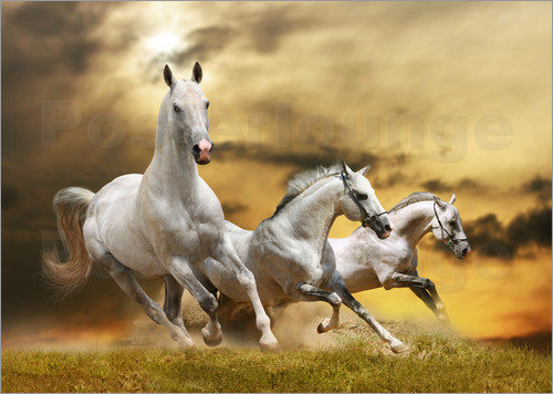 Poster white horse galloping