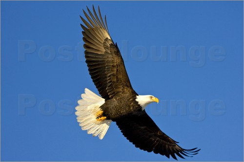 David Northcott - Bald Eagle in flight against the blue sky
