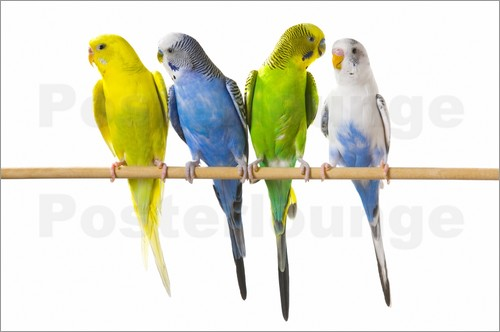 Corey Hochachka - Budgies on a perch