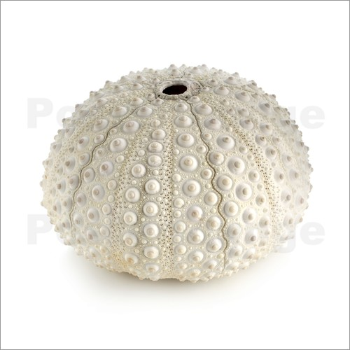 Poster White sea urchin shell