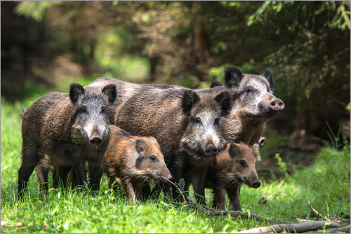 Poster Wild boar family