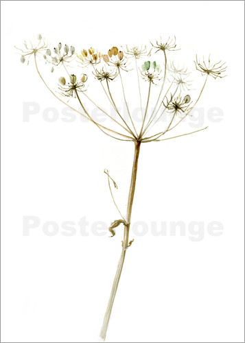 Poster Queen Anne´s Lace