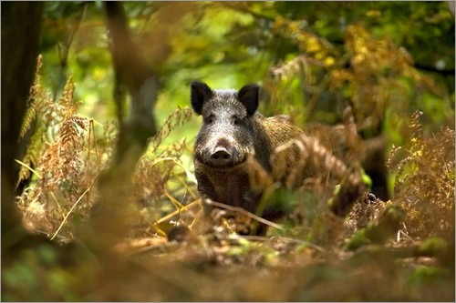 Poster Wild Boar in deciduous woodland