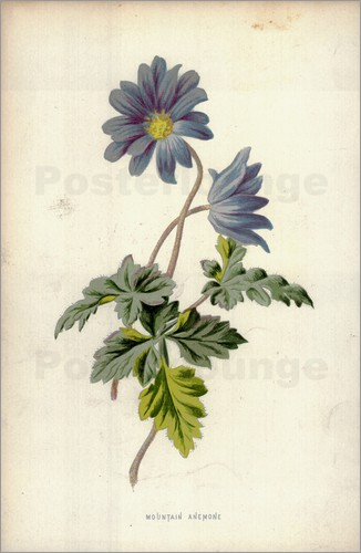 Poster Mountain Anemone