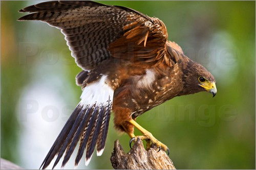Larry Ditto - Harris hawk with outstretched wings