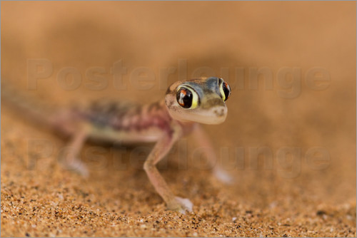 Circumnavigation - Desert Gecko in the Namib desert